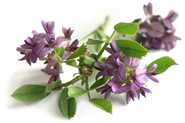 Alfalfa_Plant