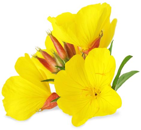 Image result for evening primrose