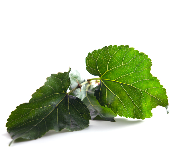 mulberry-leaves-isolated