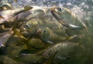 Omega Protein's Menhaden Fishery Achieves MSC Sustainability Certification